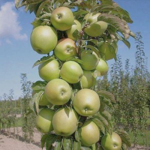 Яблоня Икша (колоновидная)