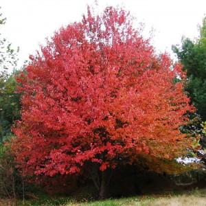 Клен красный (Quercus rubra)