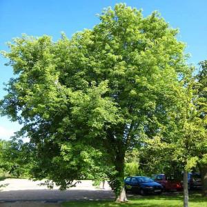 Клён серебристый (сахаристый) (Acer saccharinum)
