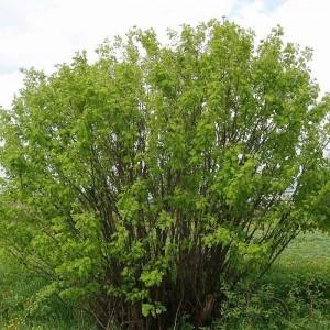 Акация Древовидная (карагана, желтая акация) (arborescens)