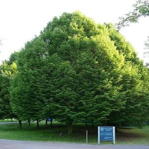 Граб обыкновенный (Сarpinus betulus)