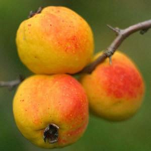 Айва японская плодовая (Chaenomeles japonica)