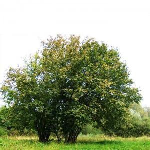Лещина обыкновенная (Орешник) (Corylus avellana)