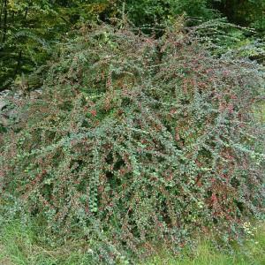 Кизильник растопыренный (Cotoneaster divaricatus)