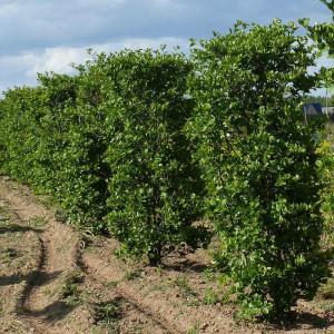Боярышник Сливолистный (prunifolia)