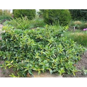 Бересклет форчуна зеленолистный (fortunei)