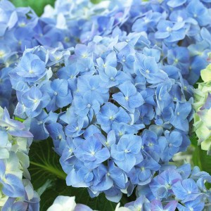 Гортензия крупнолистная Блю Хевен (Blue Heaven)