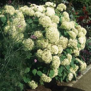 Гортензия древовидная Грандифлора (Grandiflora)