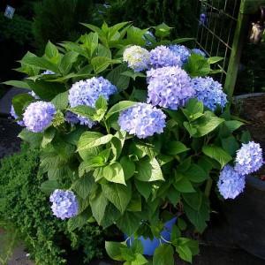 Гортензия крупнолистная Бесконечное Лето Блю (Endless Summer blu)