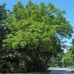 Орех Чёрный (Juglans nigra)