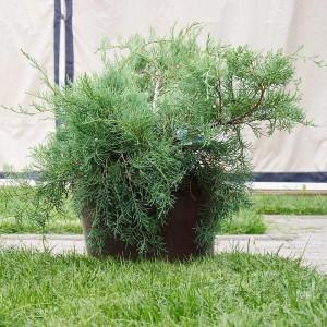 Можжевельник казацкий Тамарисцифолиа (Tamariscifolia)