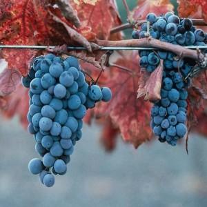 Виноград Каберне Северный