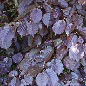Лещина крупная Пурпуреа (purpurea)