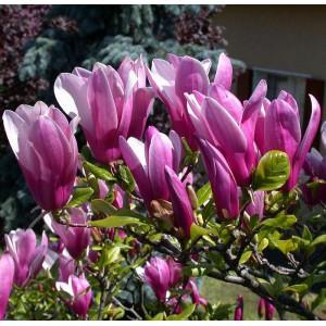 Магнолия гибридная Сусан (Magnolia Susan)