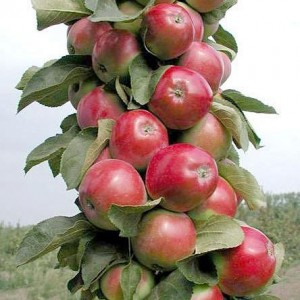 Яблоня Валюта (колоновидная)