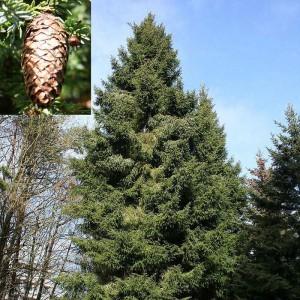 Ель Лицзянская (Picea likiangensis)