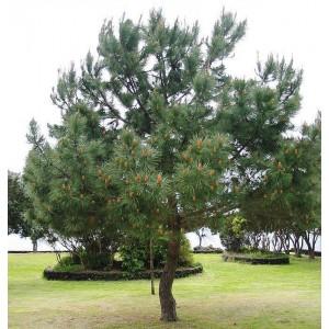 Сосна Гельдрейха (Pinus leucodermis)