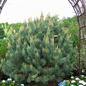 Сосна Горная (Pinus mugo)