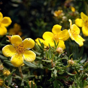 Лапчатка кустарниковая (Potentilla fruticosa)
