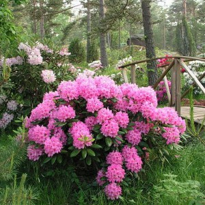 Рододендрон вечнозеленый Haaga (гибридный Гаага)
