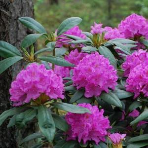 Рододендрон вечнозеленый гибридный English Roseum (Английская роза)