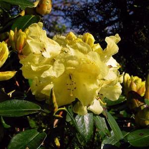 Рододендрон вечнозеленый Goldkrone (Голдкрон)