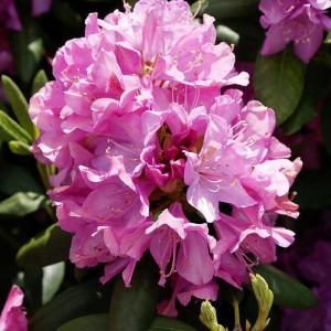 Рододендрон вечнозеленый гибридный Roseum Elegans (Розеум Элеганс)