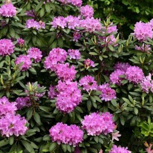Рододендрон вечнозеленый гибридный Pink Purple Dream (Пинк Пурпл Дрим)