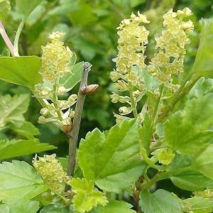 Смородина альпийская (Ribes alpinum)