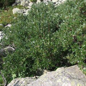 Ива швейцарская (Salix helvetica)