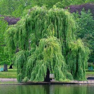 Ива золотистоволосистая (Salix sepulcralis)