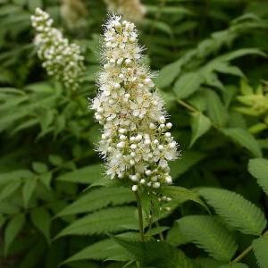 Рябинник рябинолистный Сэм (sorbifolia Sem)