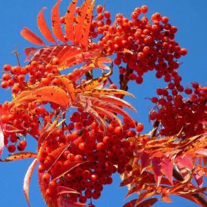 Рябина смешанная (Sorbus commixta)