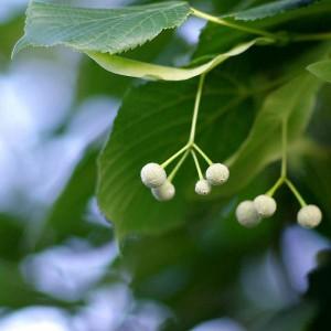 Липа мелколистная (Tilia cordata)