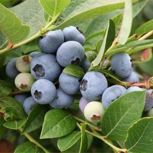 Голубика садовая Бригитта Блю (Brigitta Blue)