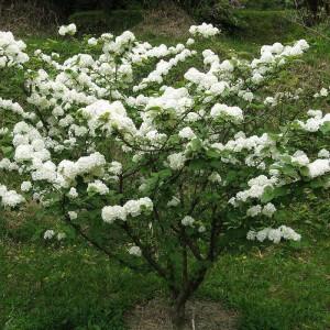 Калина складчатая (Viburnum plicatum)