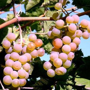 Виноград Алан 3