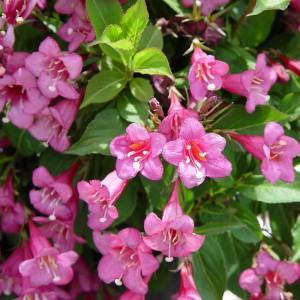 Вейгела цветущая Пурпурея (Purpurea)