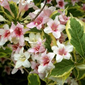 Вейгела пестролистная (Weigela variegata)