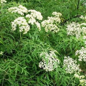 Бузина черная рассеченнолистная (f.laciniata)
