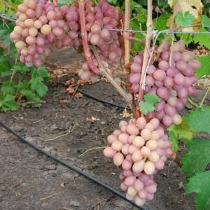 Виноград Гурман радужный