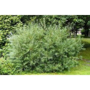 Ива розмаринолистная (Salix rosmarinifolia)