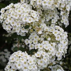 Спирея Аргута (Spiraea arguta)