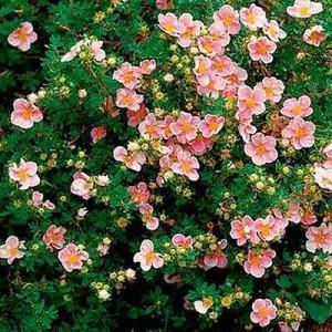 Лапчатка кустарниковая Лавели Пинк (Lovely Pink)