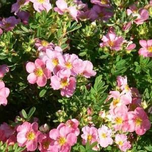 Лапчатка кустарниковая Пинк Виспер (Pink Whisper)