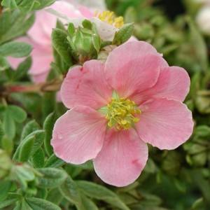 Лапчатка кустарниковая Пинк Бьюти (Pink Beauty)