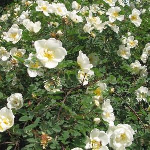 Роза бедренцеволистая (pimpinellifolia)