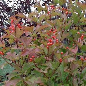 Калина съедобная (Viburnum edule)