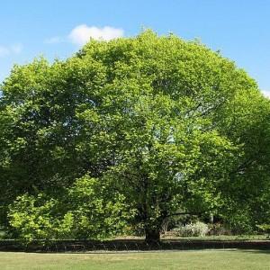 Вяз шершавый (Ulmus glabra)